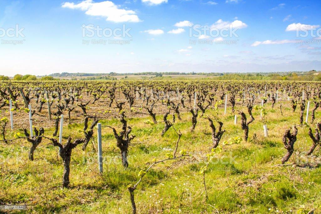 Vignobles nantais à Vallet au printemps stock photo