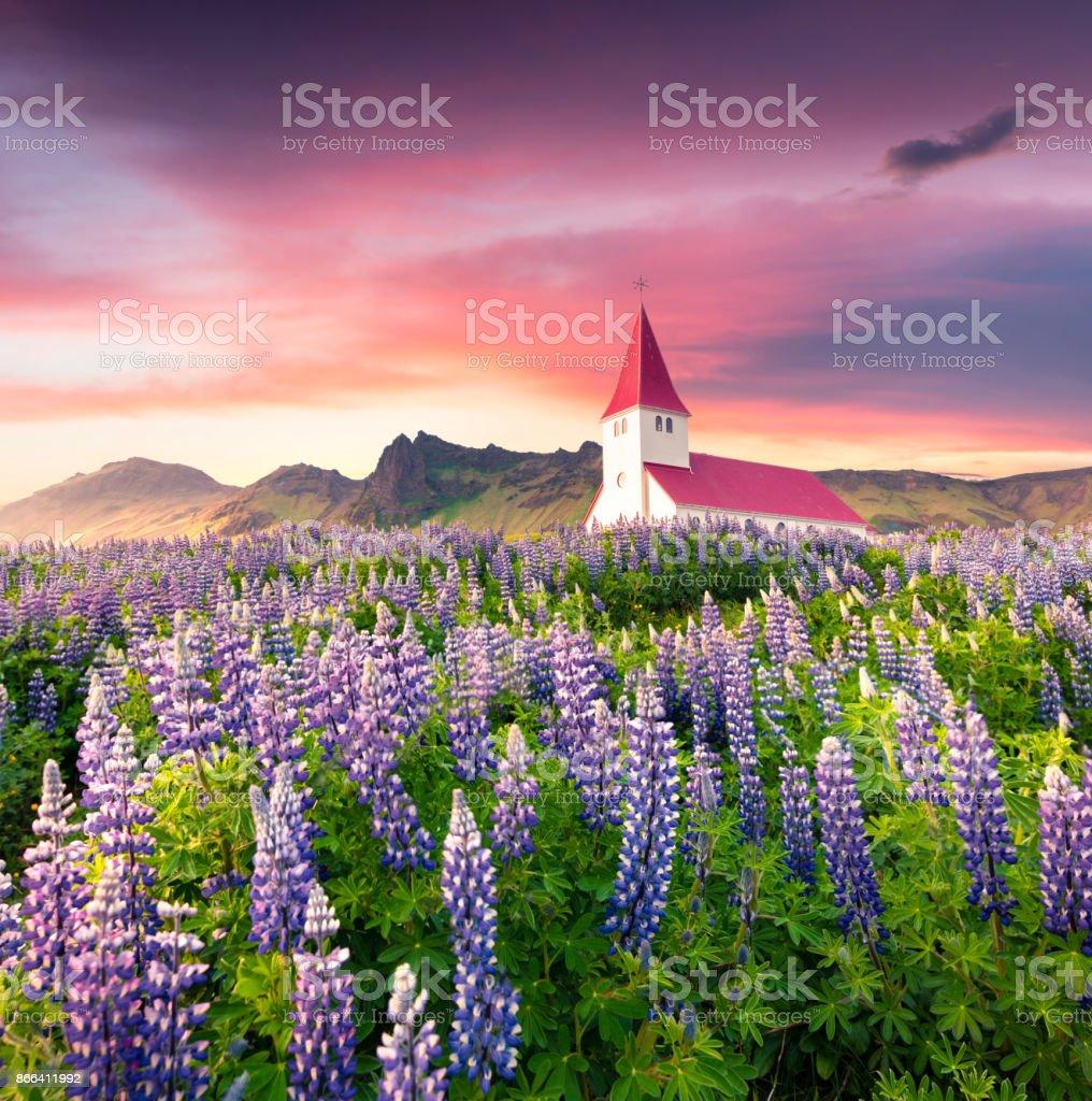 Vik ich Myrdal Kirche umgeben von blühenden Lupinen Blumen in Vik Dorf. – Foto
