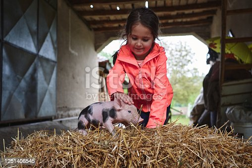 Curious country girl playing with a little black spots piglet