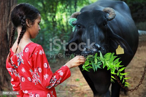 Little girl eating neem leaves to the water buffalo.