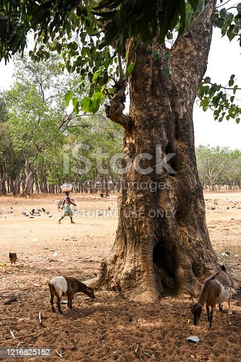 Two goats are eating next to a tree. A woman is walking in the back with a package on her head