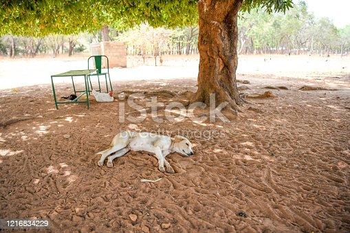 Africa, Burkina Faso, Pô region, Tiebele. A dog is lying on the sand under a tree.