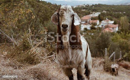 A lazy goat
