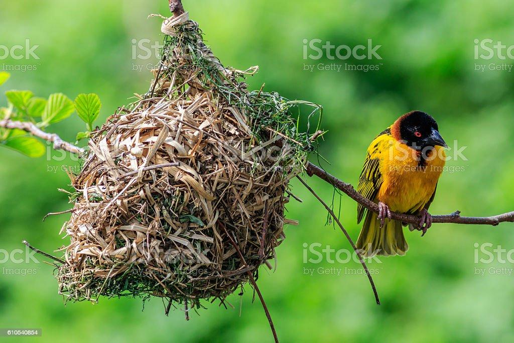 Village Weaver (Ploceus cucullatus) stock photo