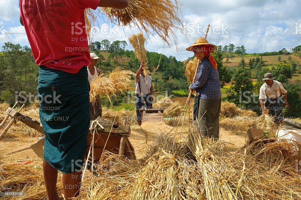 People threshing grain in Myanmar stock photo