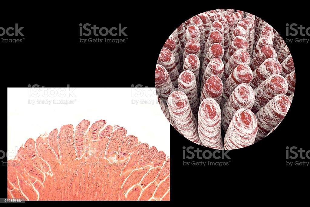 Villi Of Small Intestine Stock Photo More Pictures Of Anatomy Istock