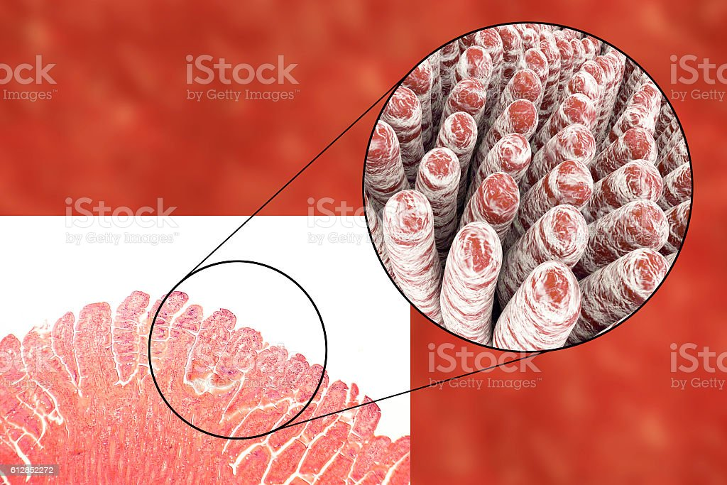 Villi of small intestine stock photo