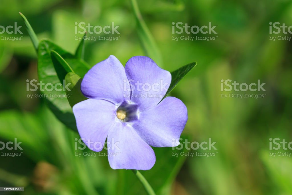 Vinca pequenas flores - Foto de stock de Azul royalty-free