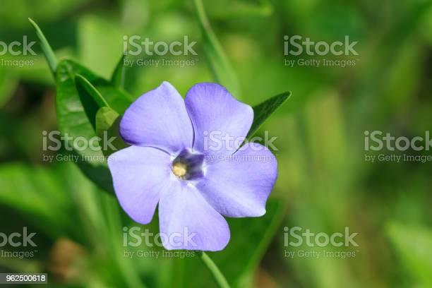 Foto de Vinca Pequenas Flores e mais fotos de stock de Azul
