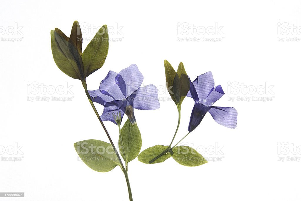 Vinca minor stock photo