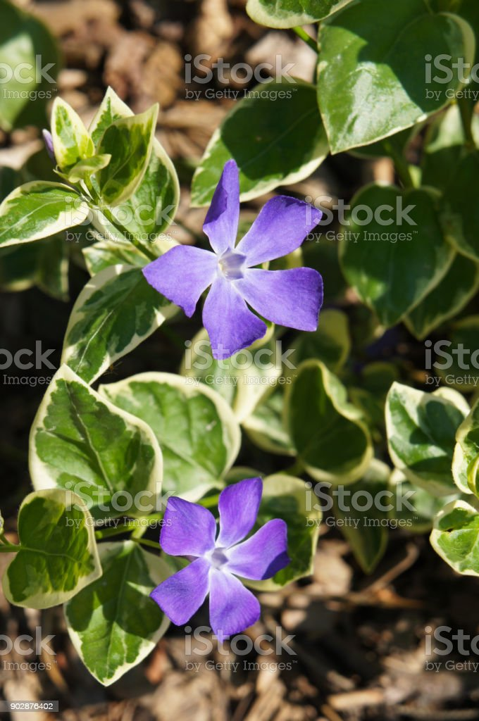 Vinca minor purple blue flowers with green stock photo