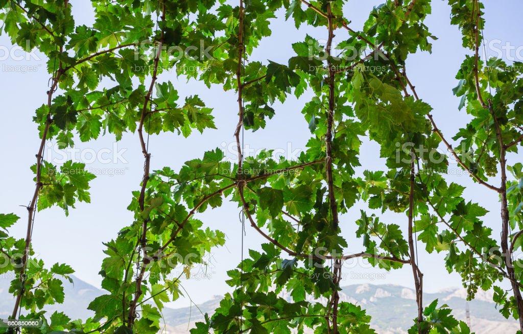 vine against the sky stock photo