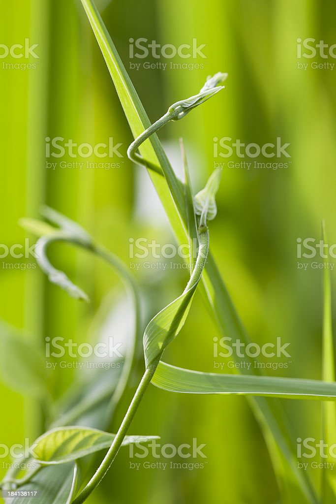 Vine and grass embrace. royalty-free stock photo