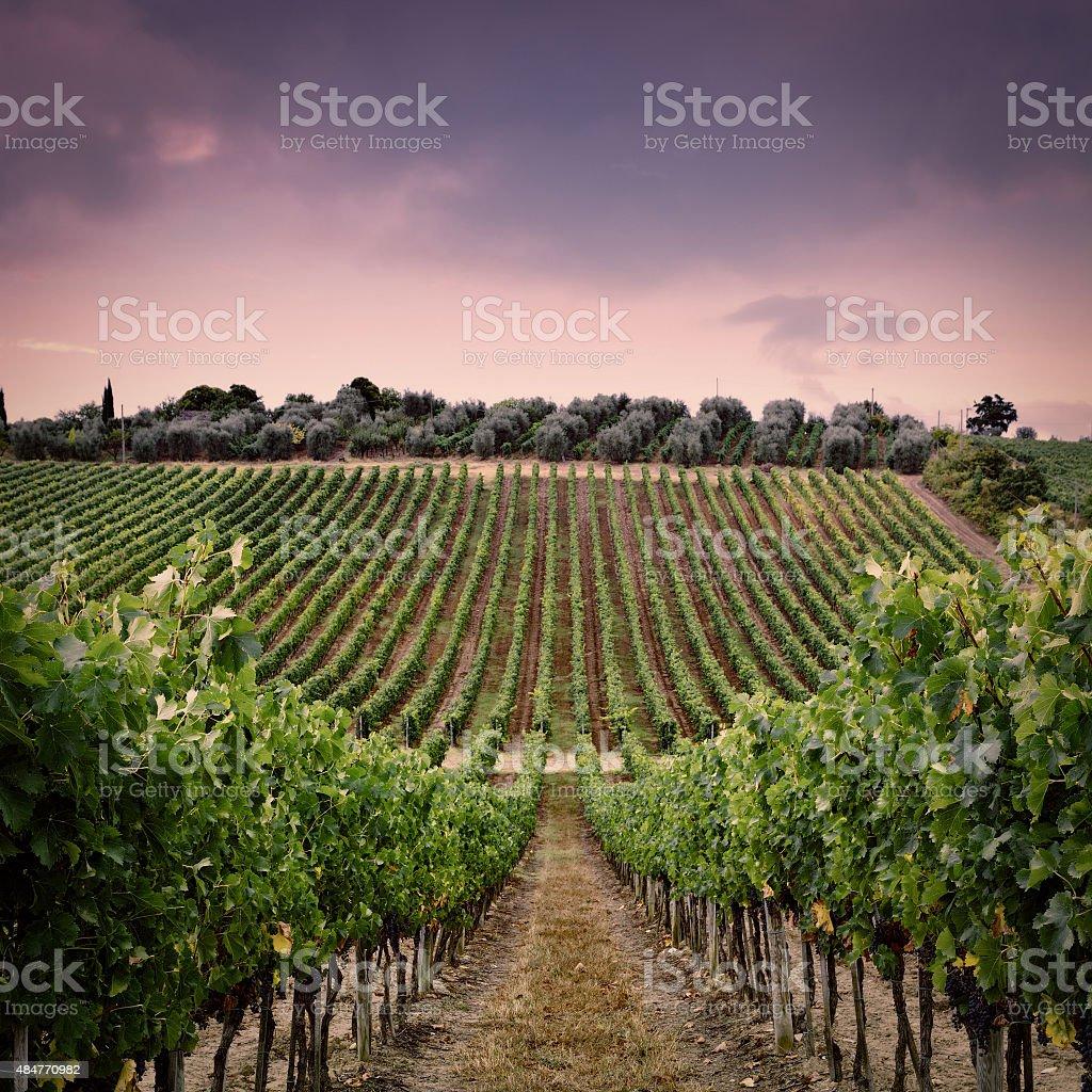 Vine and Olive stock photo