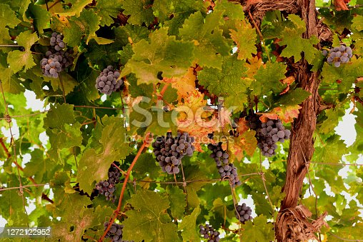 Vine at the winery