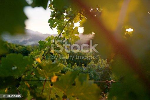 Vine branch in vineyard at sunset