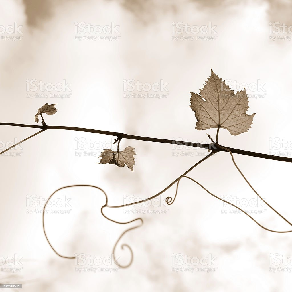 Vine branch royalty-free stock photo