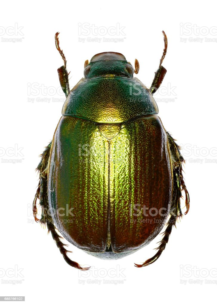 Vine Chafer on white Background  -  Anomala vitis (Fabricius 1775) stock photo