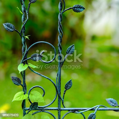 Vine climbing up a decorative weathered iron trellis in a garden. Shallow depth of field, copy space.