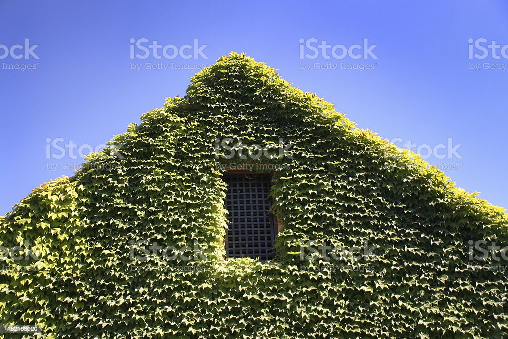 Vine Covered Wall royalty-free stock photo