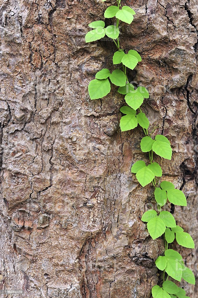 Vine creeps along tree in new growth royalty-free stock photo