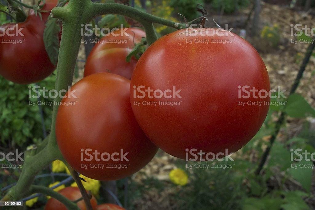Vine Fresh Tomatoes royalty-free stock photo
