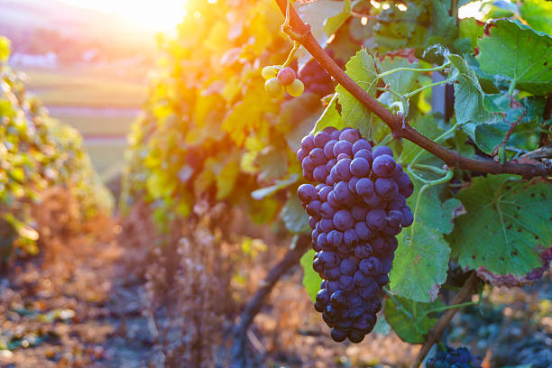 Vine grapes in champagne region in autumn harvest Vine grapes in champagne region in autumn harvest, France merlot grape stock pictures, royalty-free photos & images