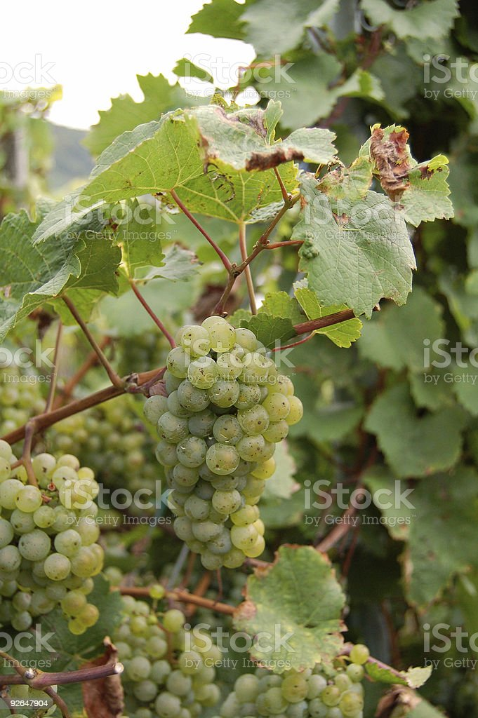 vine grapes on a plant, with leafs royalty-free stock photo