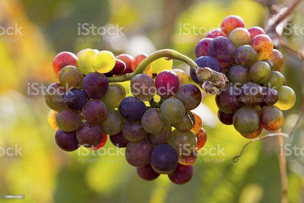 vine grapes royalty-free stock photo