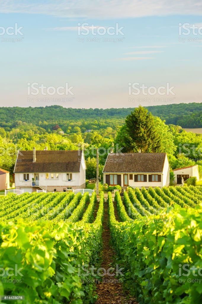 Vine green grape in champagne vineyards at montagne de reims on countryside village background, France stock photo