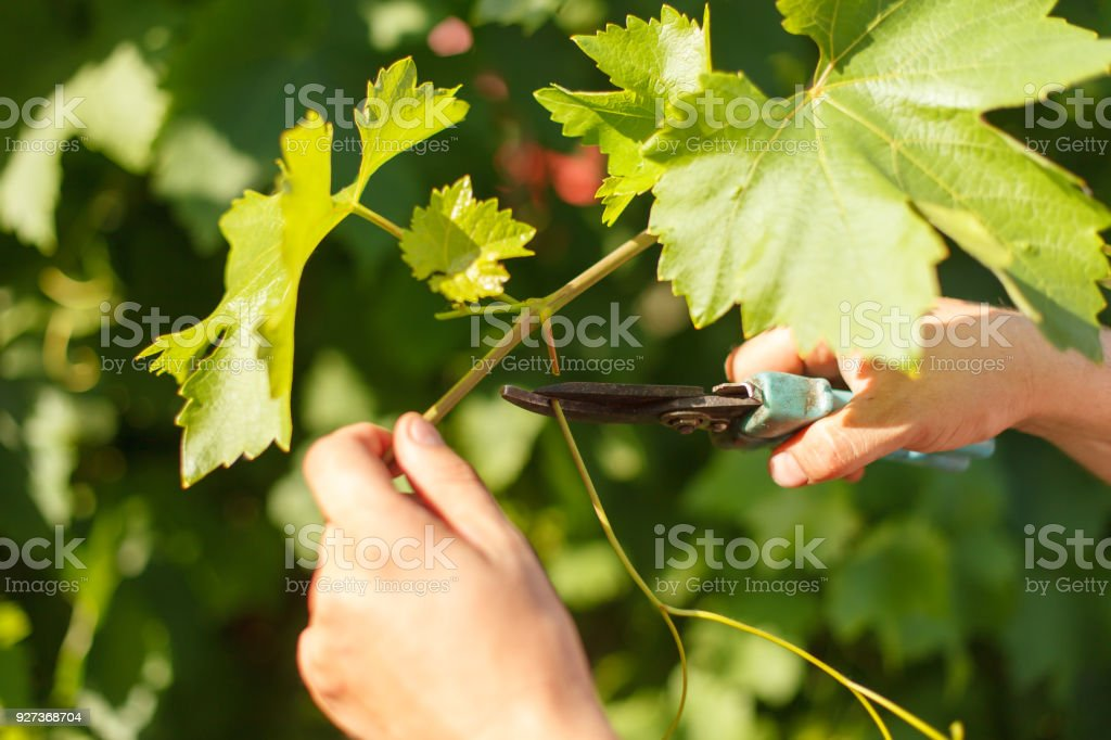 Vine grower's hand cutting grape in the vineyard by sunny weather Closeup photo of vine grower's hand cutting grape in the vineyard by sunny weather Adult Stock Photo