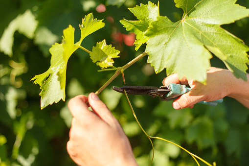 Vine Growers Hand Cutting Grape In The Vineyard By Sunny Weather Stock Photo - Download Image Now