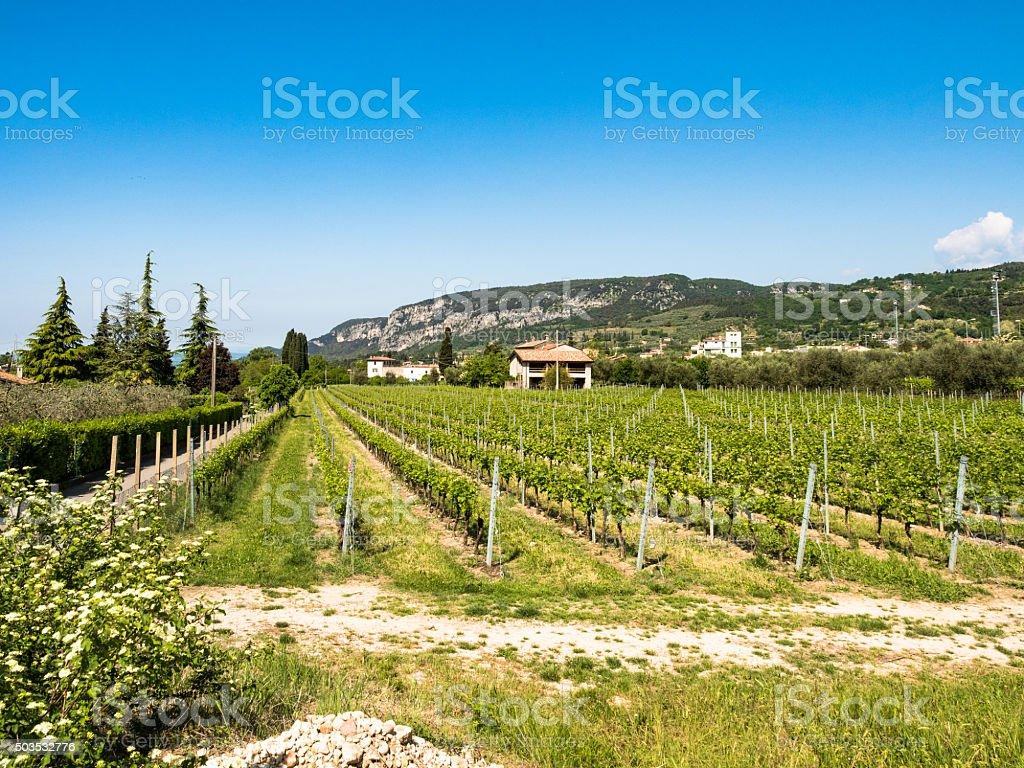 Vine growing close to Lake Garda, Italy. stock photo