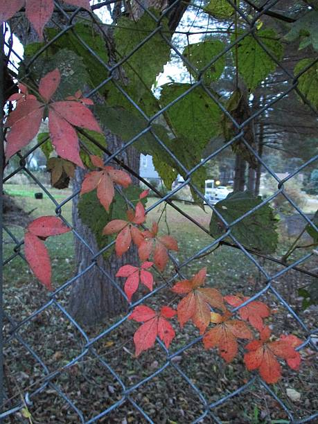Vine Growing on a Wire Fence in the Fall stock photo