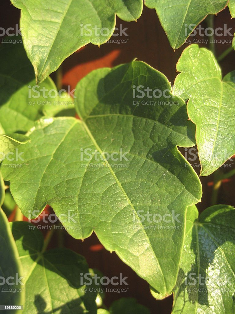 vine growing on wood fence close-up royalty-free stock photo