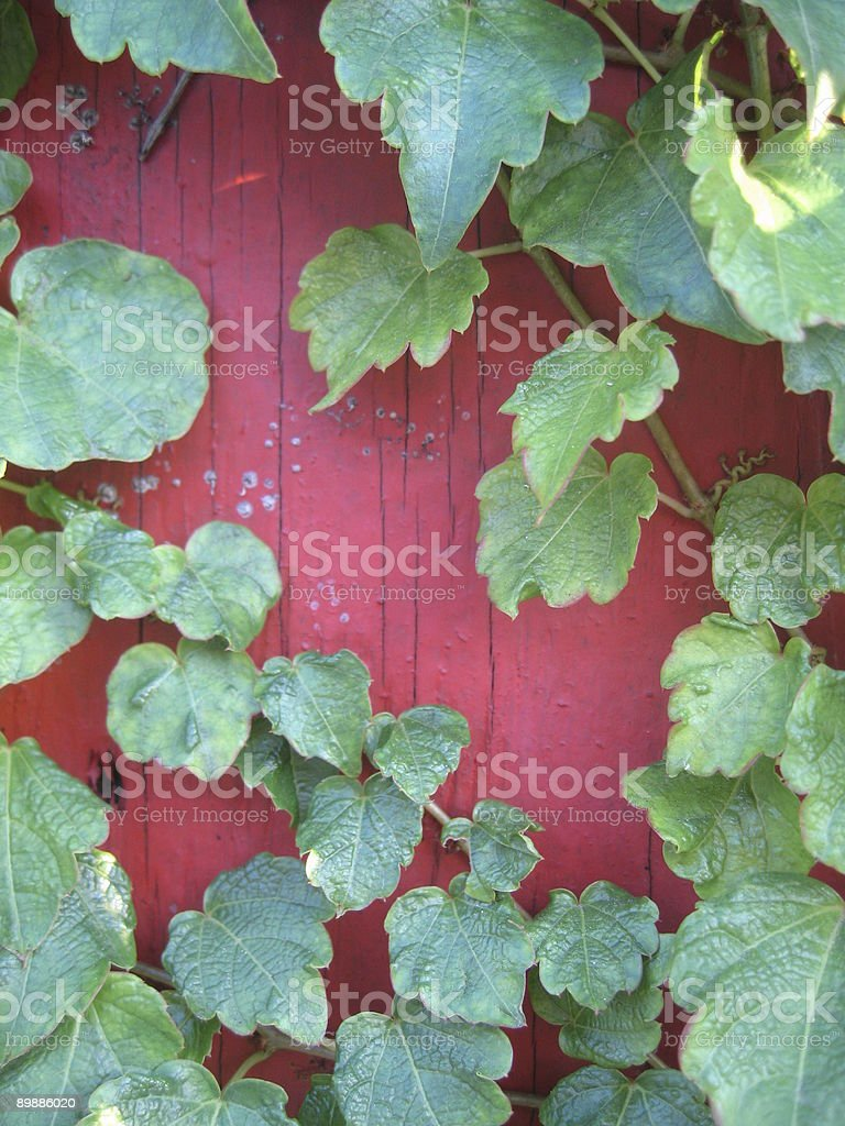 vine growing on wood fence close-up royalty free stockfoto
