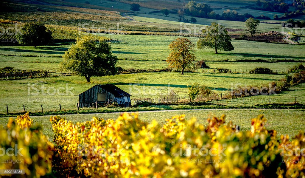 Vine in autumn in the countryside stock photo