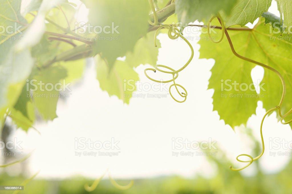 Vine in Organic Vineyard stock photo