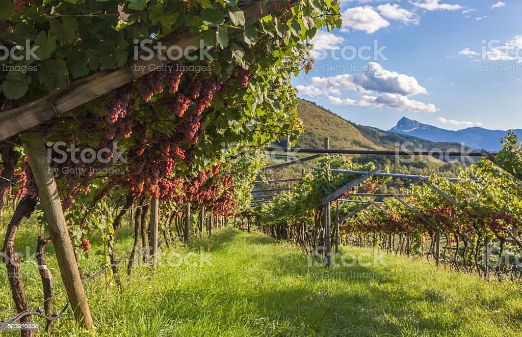 Vine in the hills stock photo