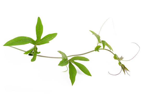 Vine ivy – Foto