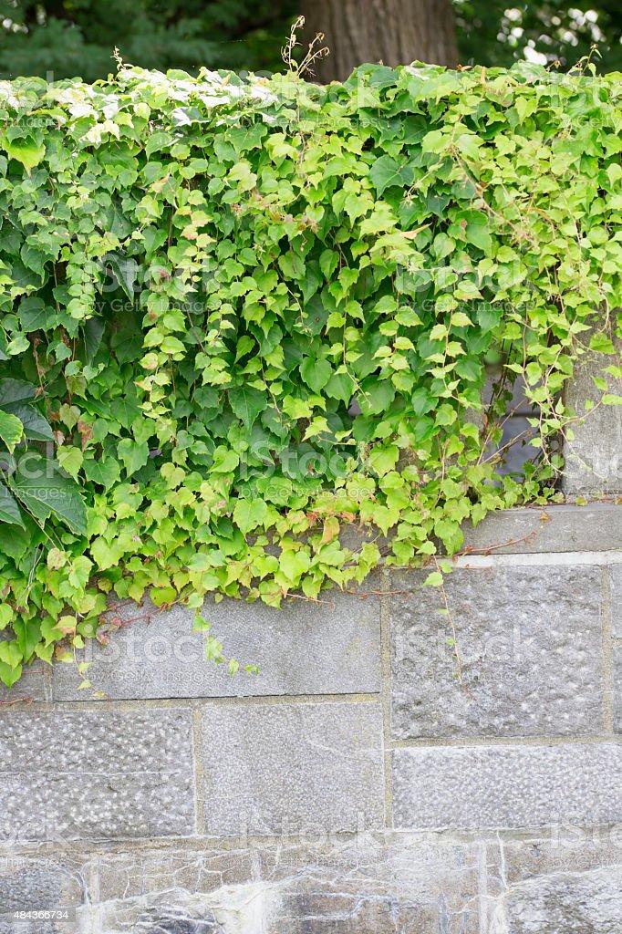 Vine - Japanese Ivy stock photo