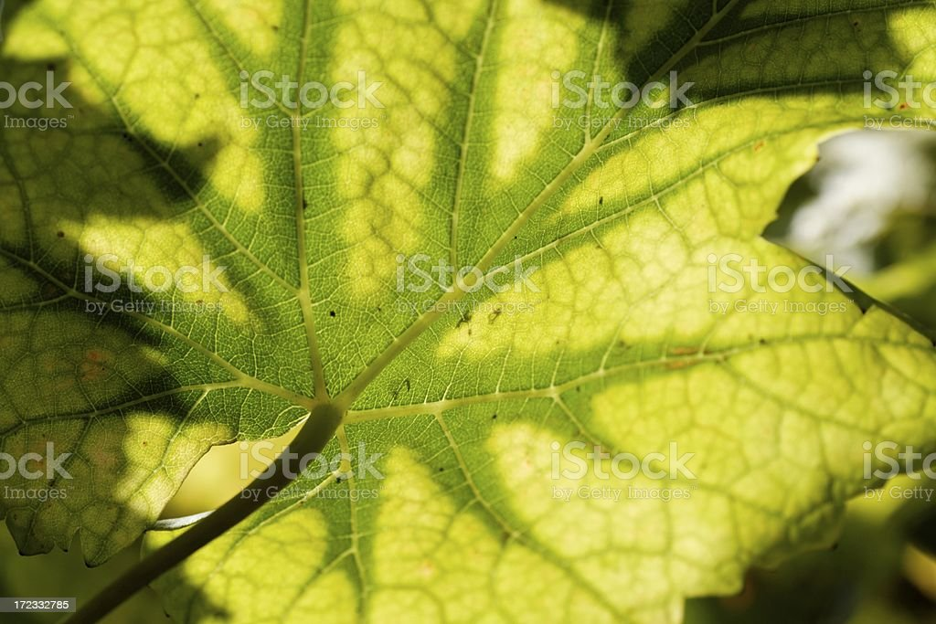 Vine leaf detail royalty-free stock photo