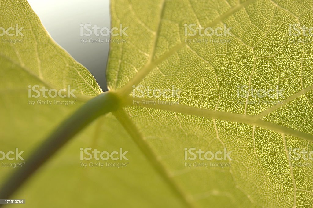 Vine leaf – Foto