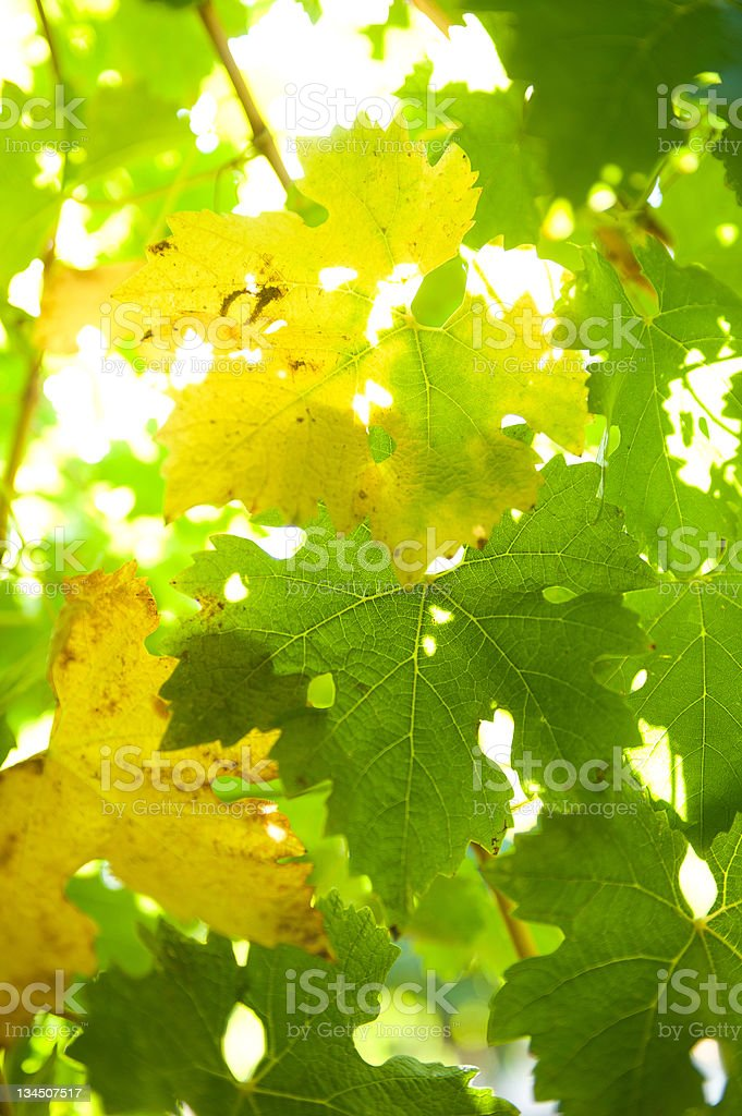 Vine leaves background stock photo