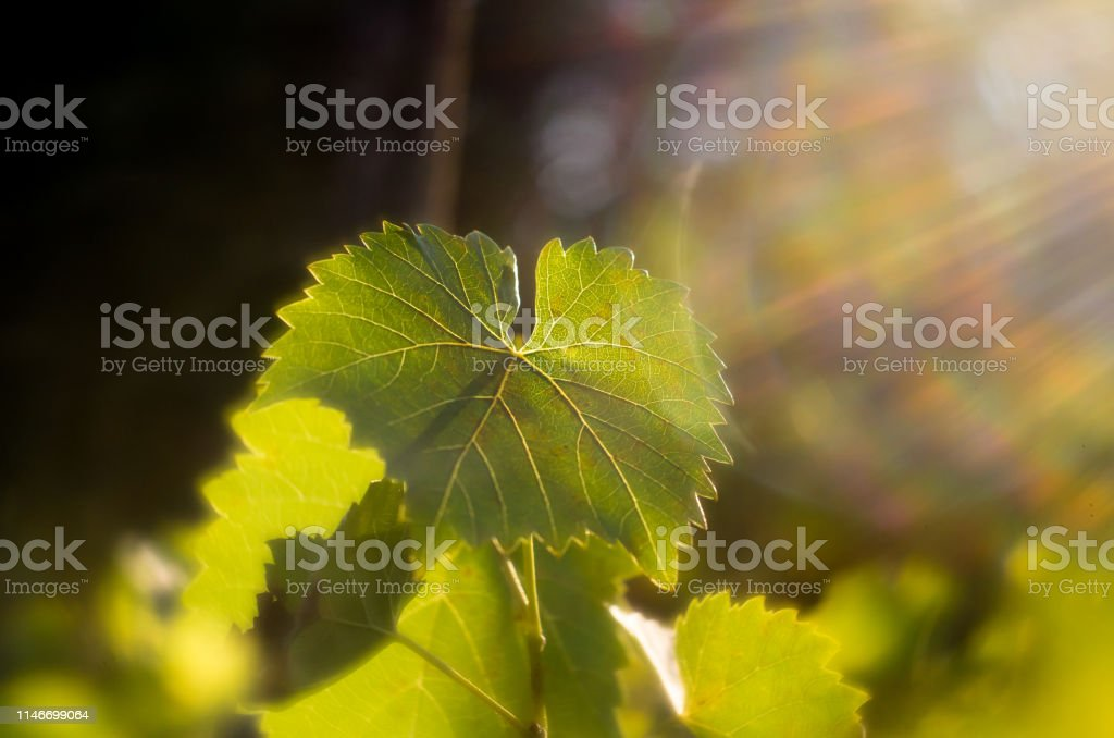 Vine leaves in autumn. Vine leaves lit by the setting sun. Green...