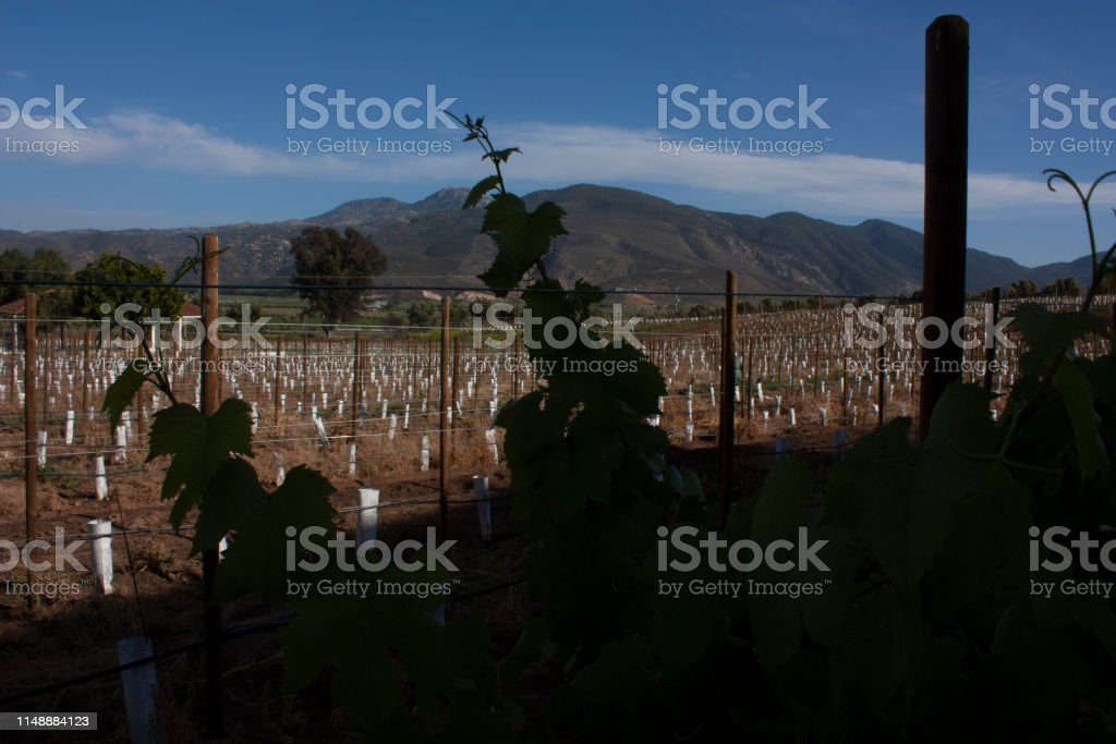 Vine leaves light with the mountains of Baja California Mexico