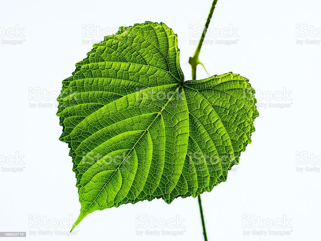 Vine leaves in garden stock photo