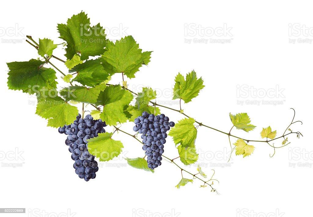 Weinblätter, isoliert auf weiss – Foto