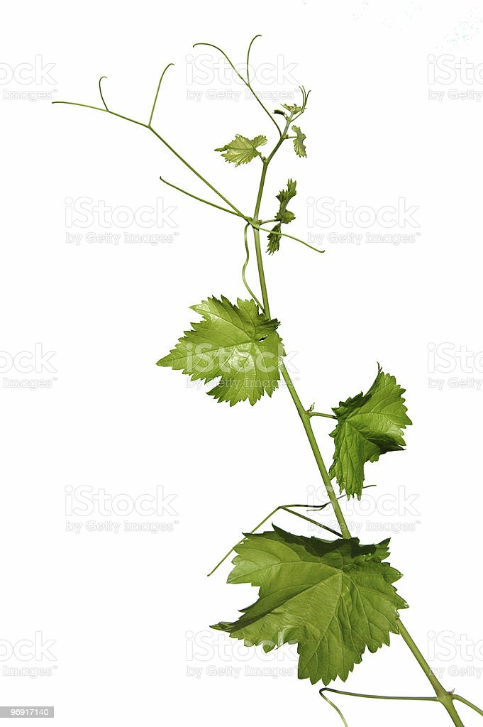 Vine leaves isolates on white royalty-free stock photo