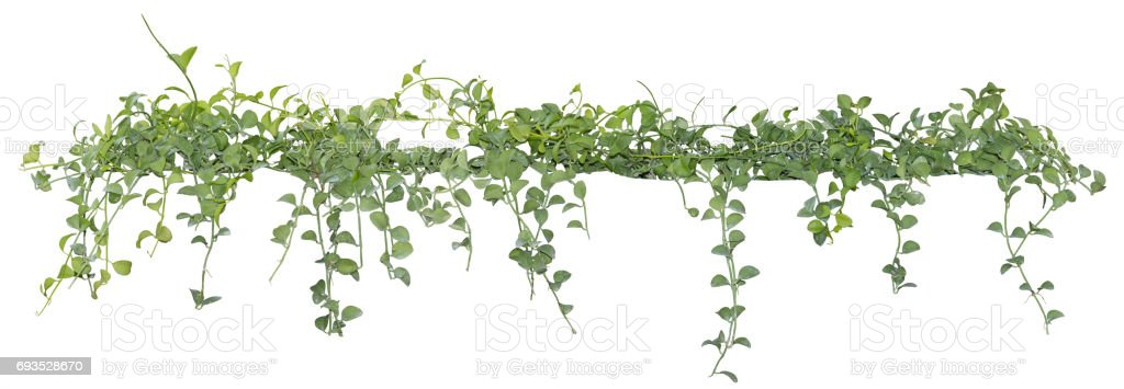 Vine leaves, ivy plant isolated on white background, clipping path stock photo